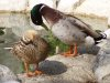 Horny duck couple, drake and hen