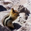 a golden-mantled ground squirrel just kinda hanging out
