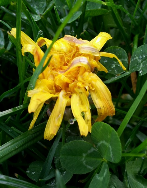 bedraggled dandelion blossom with raindrops